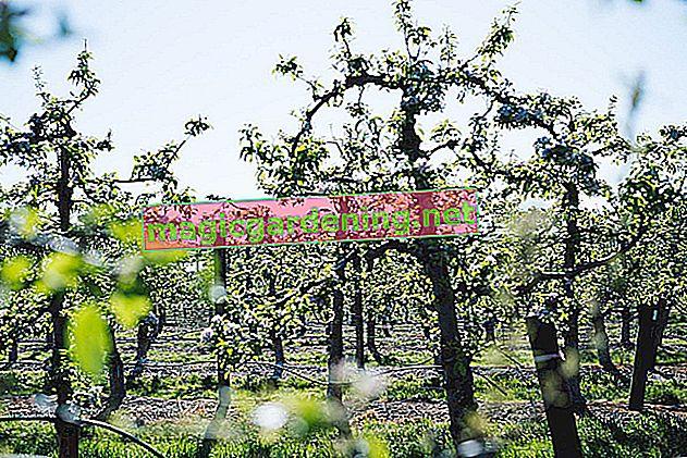 Ranunculus: kada je vrijeme za sadnju?