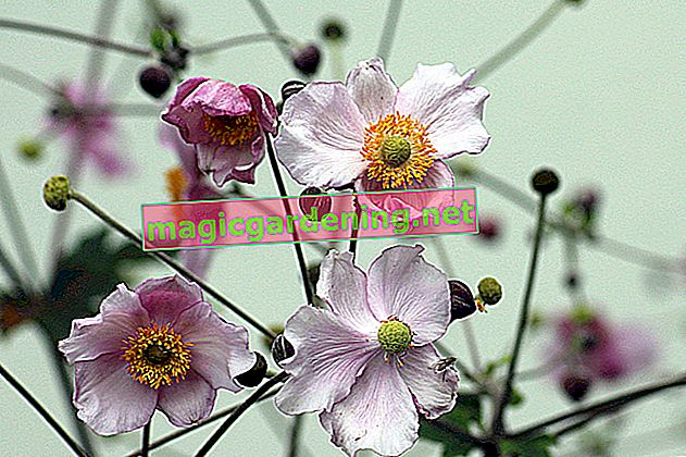 Plant spring-blooming anemones correctly