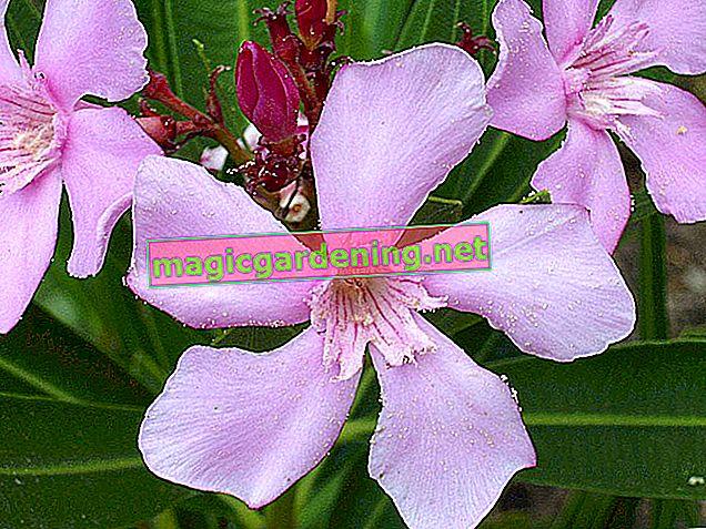 Oleander inspires with long-lasting flowering