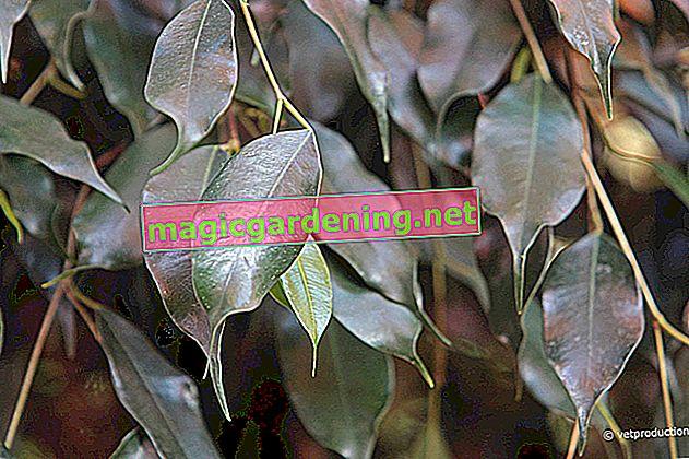Ficus benjamina - Una selezione di bellissime specie