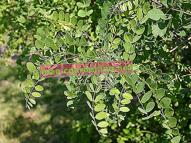 Interesting facts about acacia leaves
