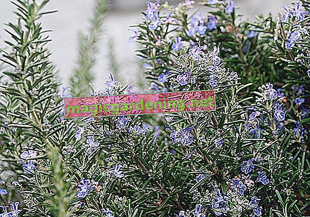 Do not overwinter rosemary without protection