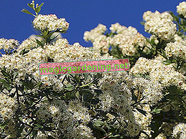 Cut spars correctly - flowering time is the be-all and end-all