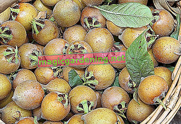 An extraordinary fruit - the medlar