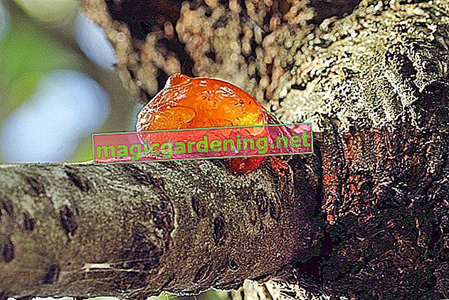 Типові коріння у хвойних дерев та способи їх видалення