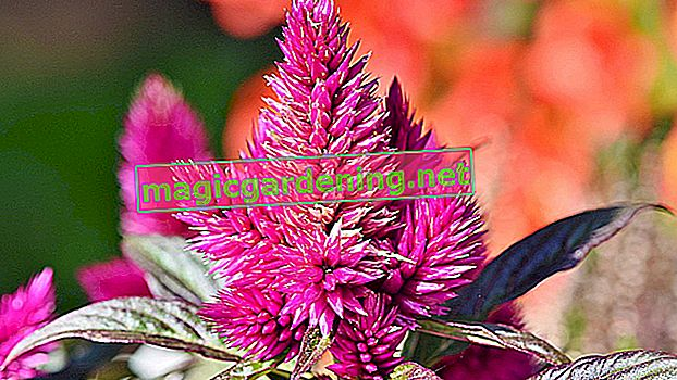 Is the Celosia hardy?