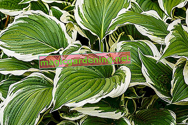 What is essential when transplanting hostas?