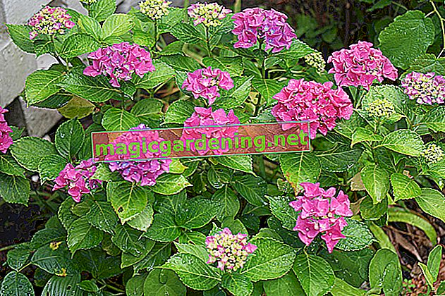 The hydrangea is drooping its flowers - what is the cause?