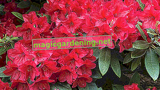 Fertilize rhododendrons properly