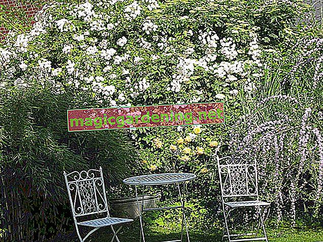 Plant rambler roses properly