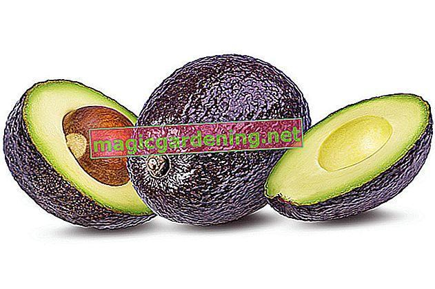 Авокадо - здоровий для людини, токсичний для собак