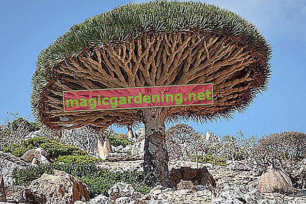 Zmajevo drvo i njegove najpopularnije vrste