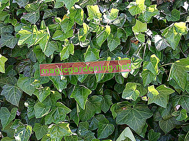 Planting ivy properly in the garden - a little guide