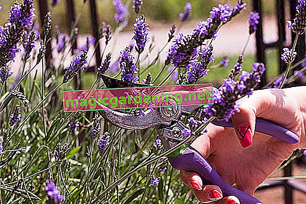 Lavender: the right care for the balcony and terrace