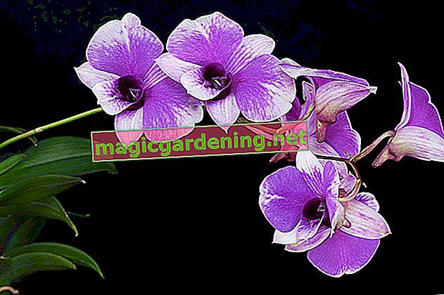 Dendrobium: njega i sorte