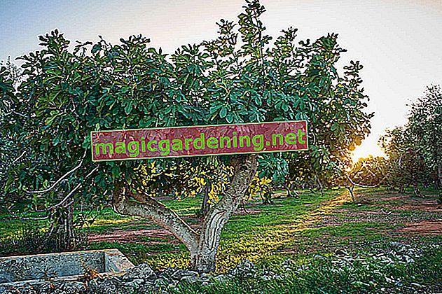 Sıcağı seven inciri kışlamak için ipuçları