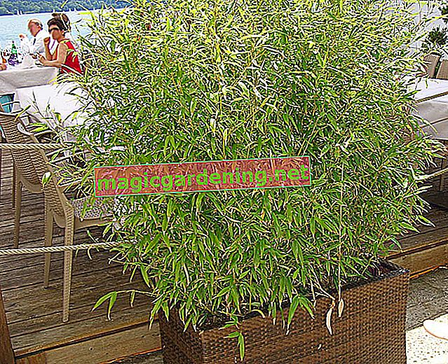 Bambus u loncu kao pokretna zelena