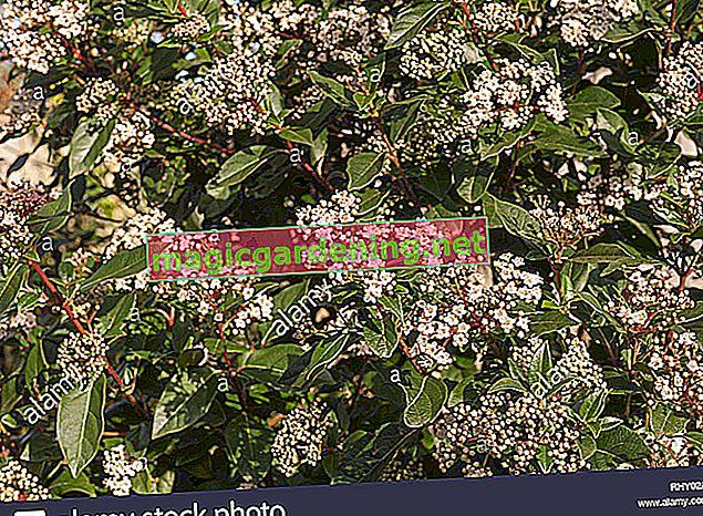 Sadite i njegujte Viburnum tinus