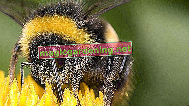 Yaban arısı yuvasını tanıyın ve onunla doğru şekilde ilgilenin
