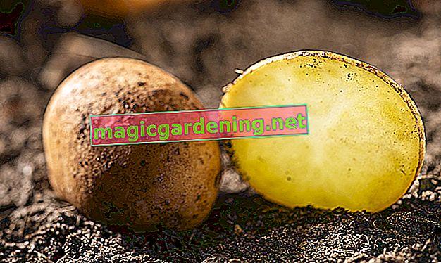 Pommes de terre nouvelles - quand les manger dans leur peau