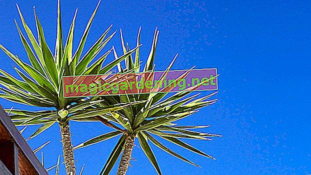 Yucca palmiyesi - popüler houseplant'a uygun bakım