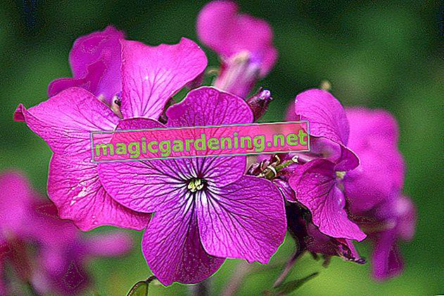 Dünya çapında düğün çiçeği ailesinin 2.500'den fazla türü vardır.