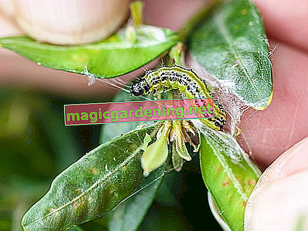 The best home remedies to fight the boxwood moth caterpillar