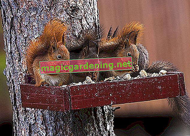 Squirrel Kobel in the garden - tips and interesting facts
