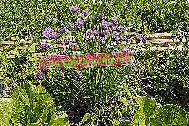 Properly care for chives in the pot
