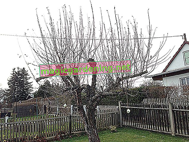 Bir elma ağacını düzgün bir şekilde budama - çok sayıda talimat içeren eğitim
