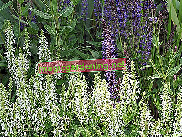 Steppe sage: planting and caring for
