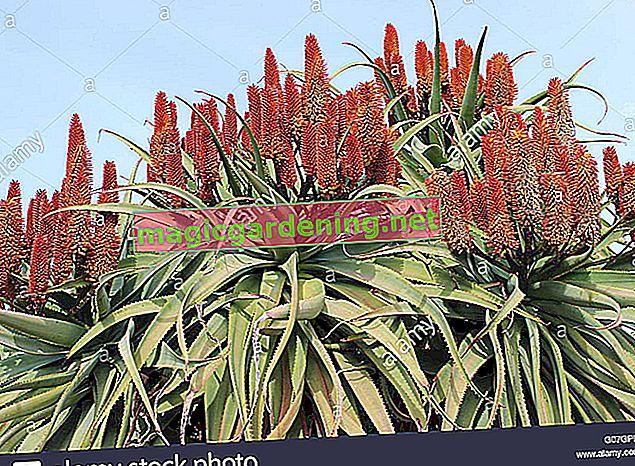 Aloe vera blooms in spring