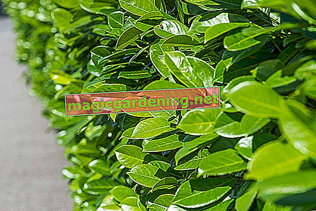 What does cherry laurel cost for a whole hedge?