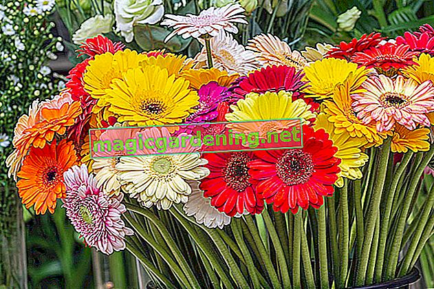 Gerbera - finding the right location for the potted plant