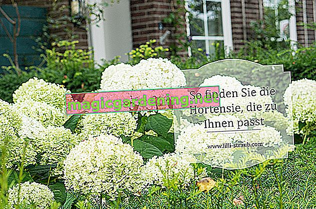 Which planting suits hydrangeas?