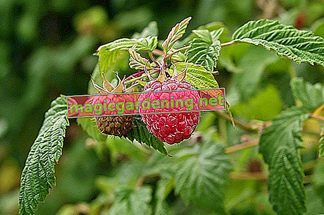 Couper et rajeunir la plante sedum