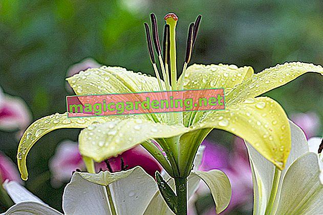 Lys - temps de plantation des bulbes, des graines et des jeunes plantes