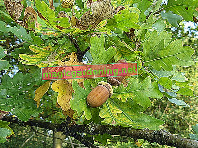 Acorns are the fruit of the oak tree