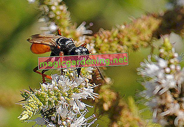 Bu ne tür bir siyah yaban arısı?