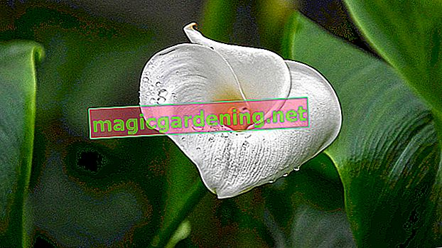 Leaves of the magnolia indicate the health of the plant