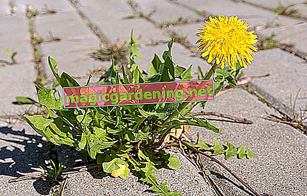 Dandelions - remove the weeds