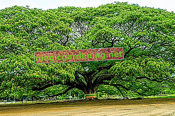 largest-tree-of-the-world