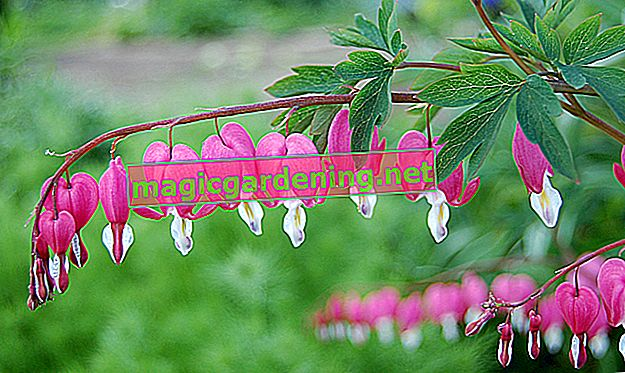 Bleeding heart blooms from May to August