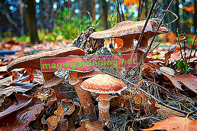 When can you collect the tasty meadow mushrooms?