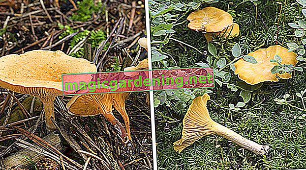 You can recognize the real chanterelle by these characteristics