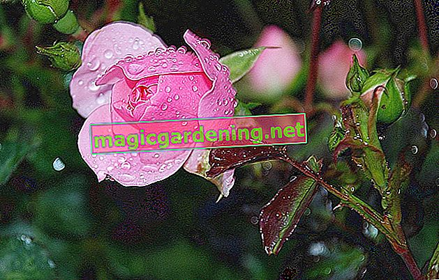 Fertilize roses three times a year