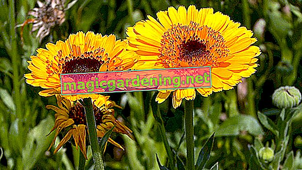 The marigold in the garden: sowing and care instructions