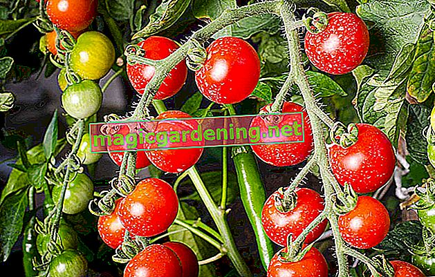 Functional climbing aids for tomatoes - useful tips & tricks