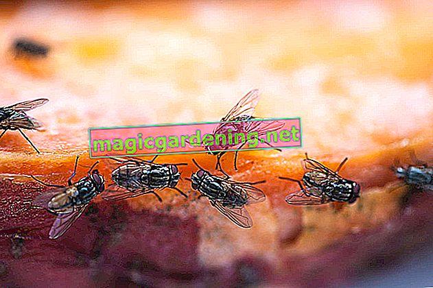 Kada se muhe brčkaju u lončanici - savjeti