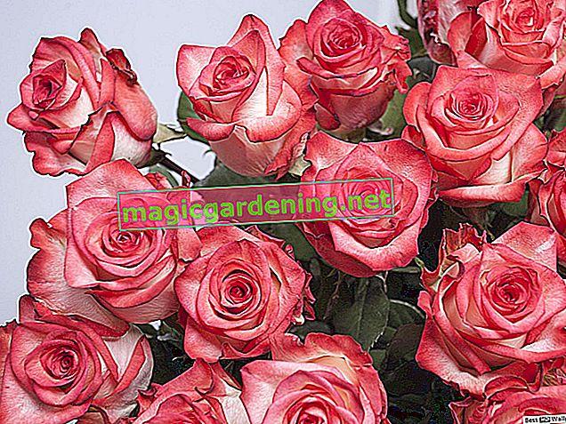 Gülleri kurut ve güzel rengi koru